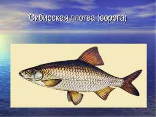 Сибирская плотва (сорога)