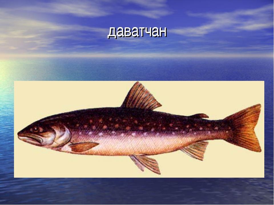 даватчан рыба фото