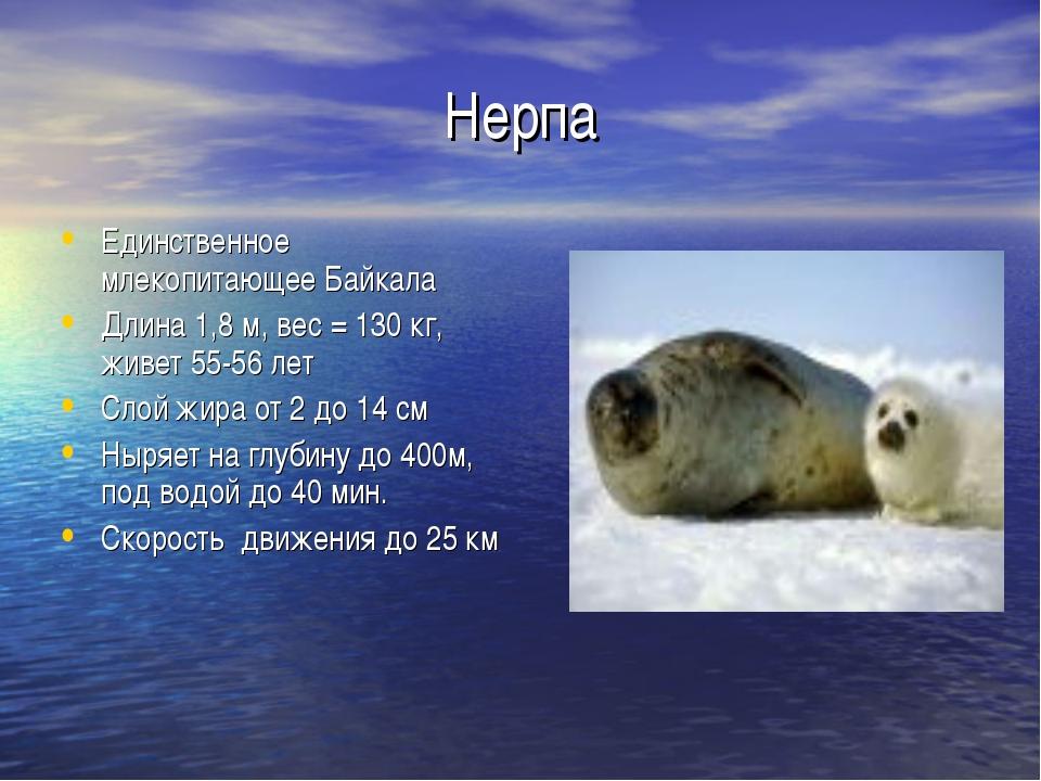 Нерпа Единственное млекопитающее Байкала Длина 1,8 м, вес = 130 кг, живет 55-...