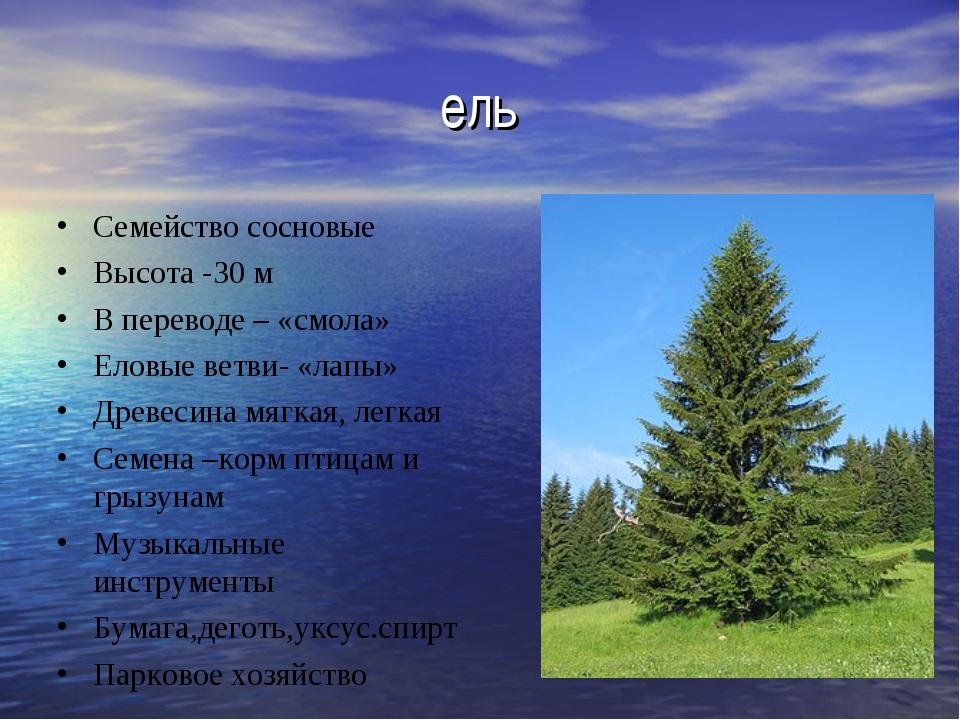 ель Семейство сосновые Высота -30 м В переводе – «смола» Еловые ветви- «лапы»...