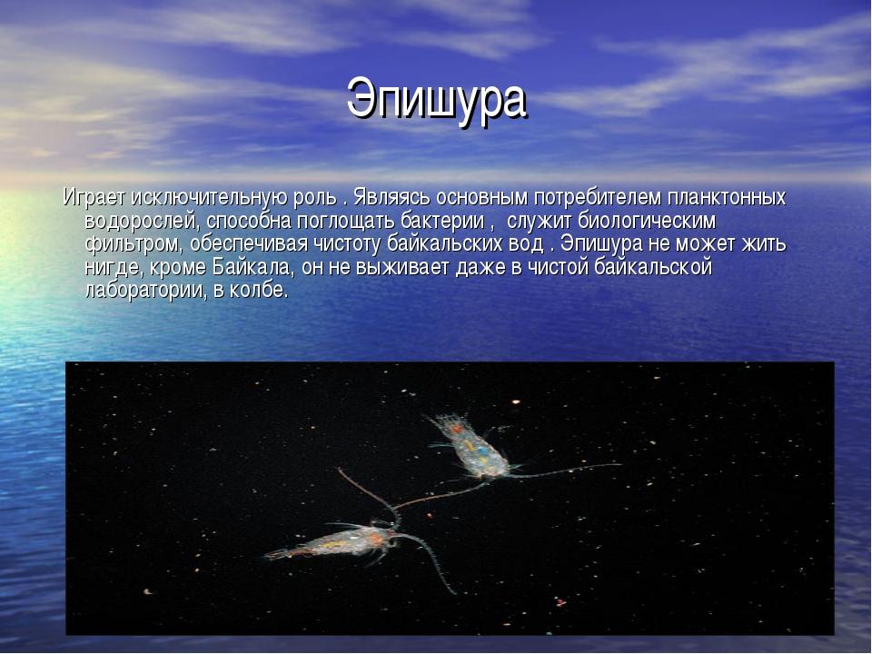 Эпишура Играет исключительную роль . Являясь основным потребителем планктонны...