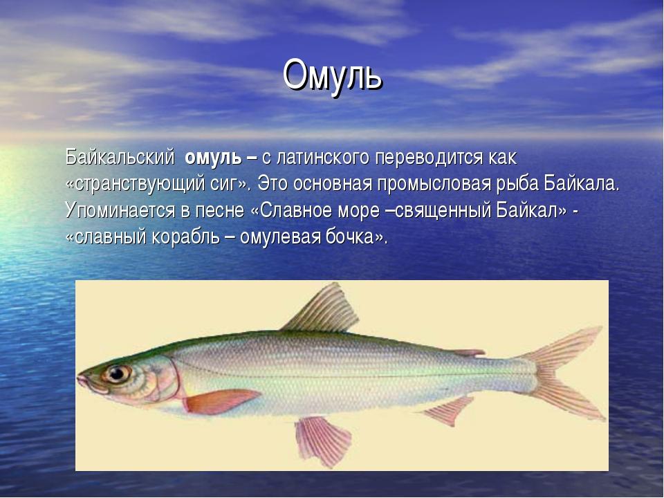 Омуль Байкальский омуль – с латинского переводится как «странствующий сиг». Э...