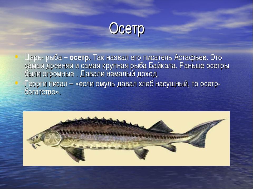 Осетр Царь- рыба – осетр. Так назвал его писатель Астафьев. Это самая древняя...