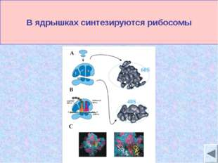 В ядрышках синтезируются рибосомы