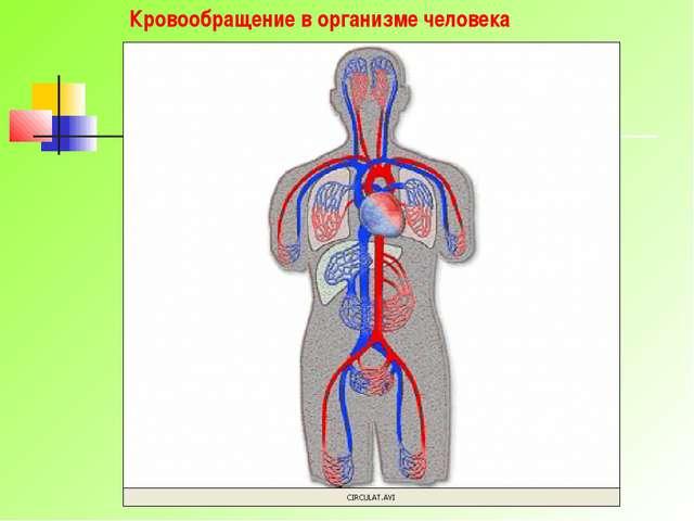 Кровообращение в организме человека