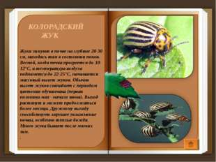 КОЛОРАДСКИЙ ЖУК Жуки зимуют в почве на глубине 20-30 см, находясь там в сост