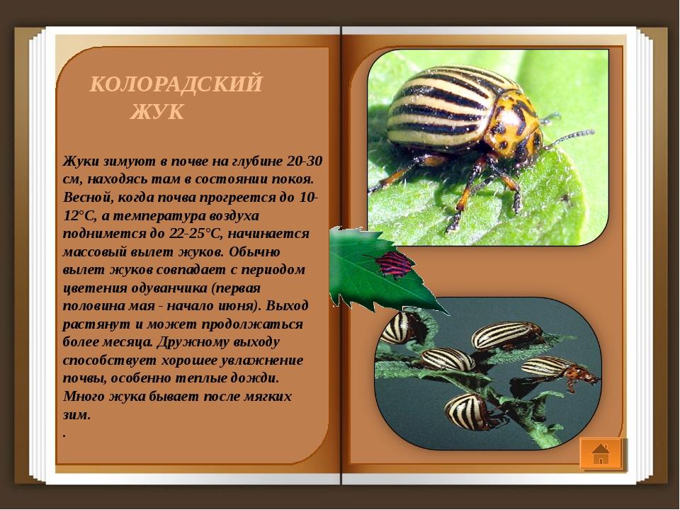 КОЛОРАДСКИЙ ЖУК Жуки зимуют в почве на глубине 20-30 см, находясь там в сост...