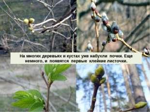 На многих деревьях и кустах уже набухли почки. Еще немного, и появятся первые