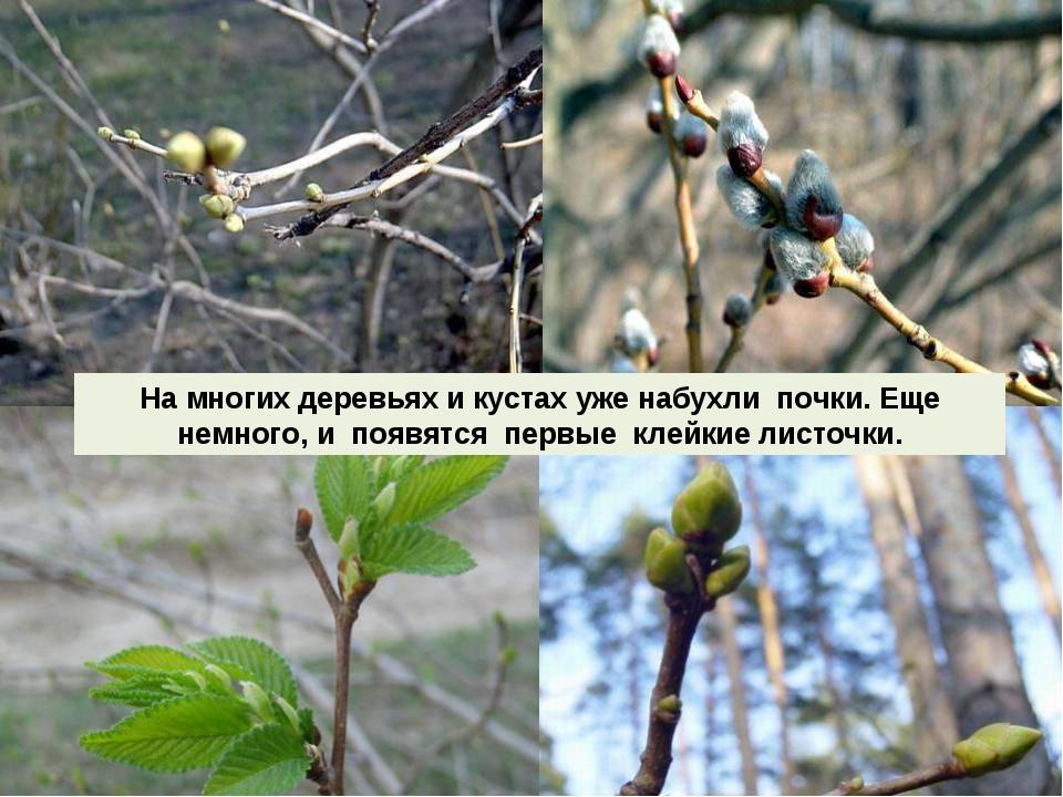 На многих деревьях и кустах уже набухли почки. Еще немного, и появятся первые...