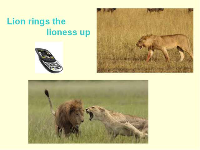 Lion rings the lioness up