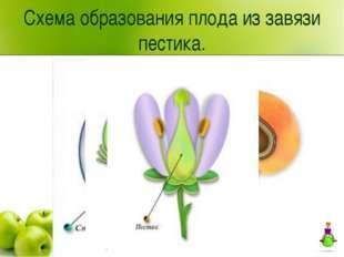 Схема образования плода из завязи пестика.