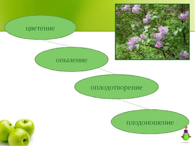 цветение опыление оплодотворение плодоношение