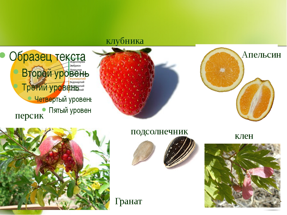 персик клубника Апельсин Гранат подсолнечник клен