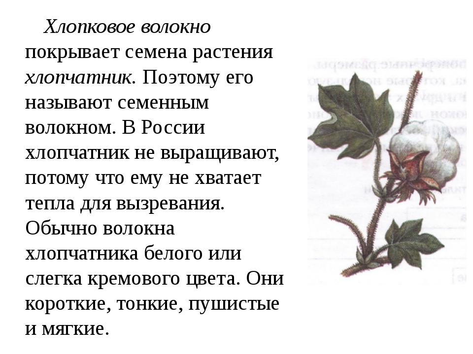 Хлопковое волокно покрывает семена растения хлопчатник. Поэтому его называют...