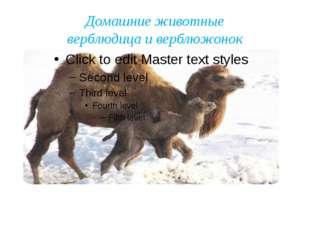 Домашние животные верблюдица и верблюжонок