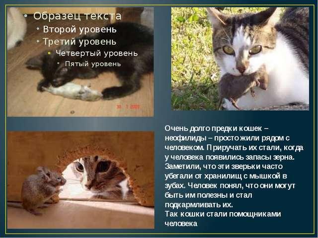 Очень долго предки кошек – неофилиды – просто жили рядом с человеком. Прируч...