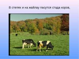 В степях и на жайлау пасутся стада коров,