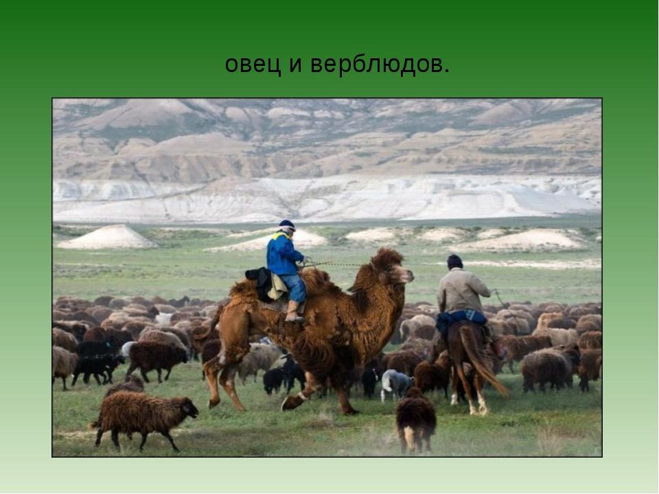 овец и верблюдов.