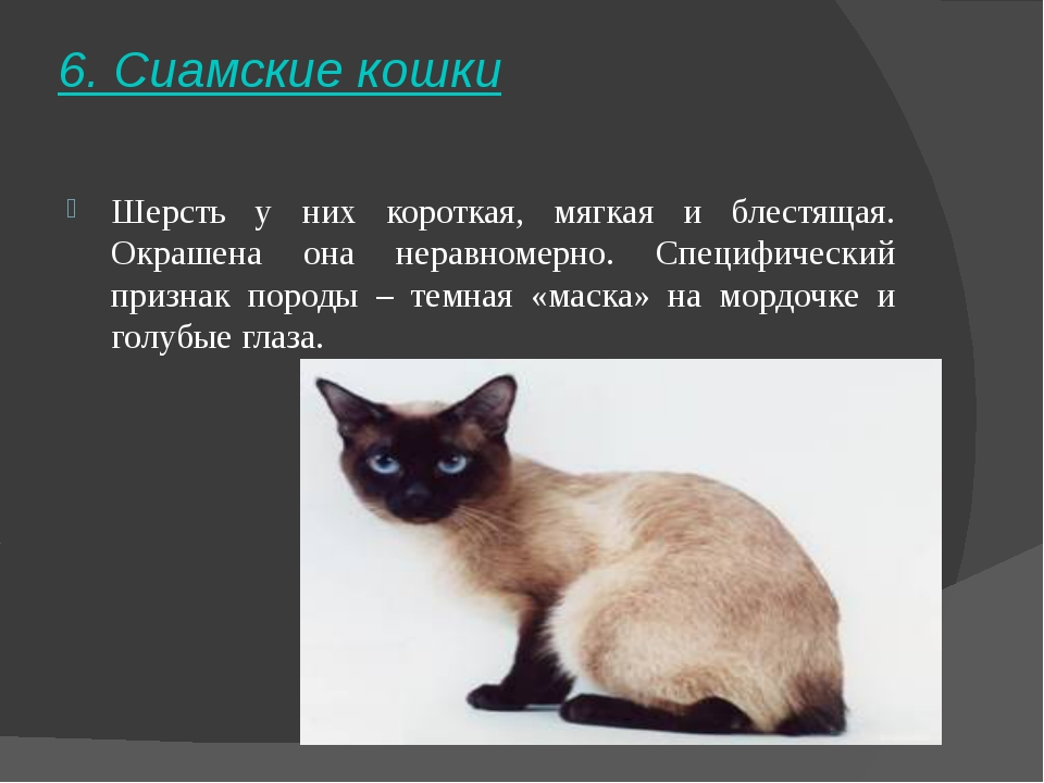 6. Сиамские кошки Шерсть у них короткая, мягкая и блестящая. Окрашена она нер...