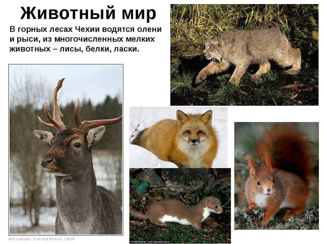Животный мир В горных лесах Чехии водятся олени и рыси, из многочисленных мел...