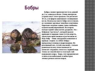 Бобры Бобры имеют приземистое тело длиной до 1 м, а иногда и более. Очень и