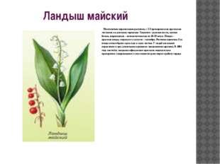 Ландыш майский  Многолетнее корневищное растение, с 2-3 прикорневыми крупны