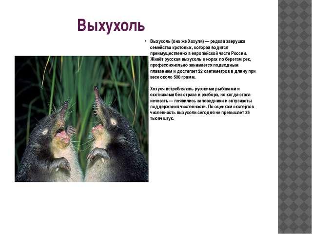 Выхухоль  Выхухоль (она же Хохуля) — редкая зверушка семейства кротовых, ко...