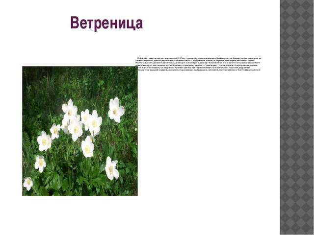 Ветреница Семейство – многолетнее растение высотой 10-15cm, с гладким ползу...
