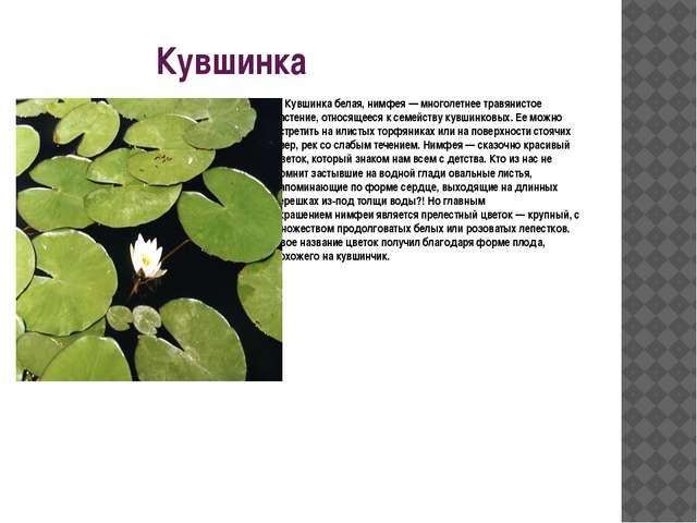Кувшинка Кувшинка белая, нимфея— многолетнее травянистое растение, относяще...