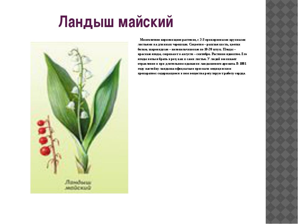 Ландыш майский  Многолетнее корневищное растение, с 2-3 прикорневыми крупны...