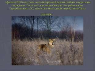 1 февраля 2008 года. Волк около белорусской деревни Бабчин, внутри зоны отчуж