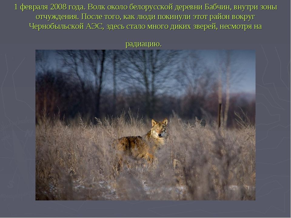1 февраля 2008 года. Волк около белорусской деревни Бабчин, внутри зоны отчуж...