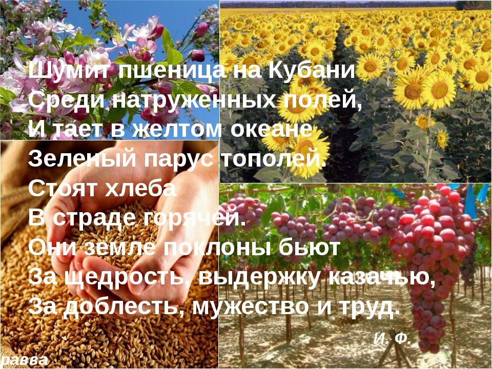 Шумит пшеница на Кубани Среди натруженных полей, И тает в желтом океане Зеле...
