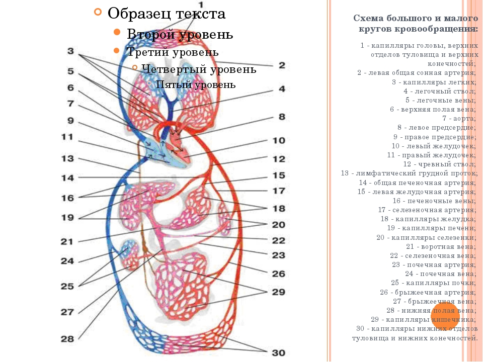 Схема большого и малого кругов кровообращения: 1 - капилляры головы, верхних...