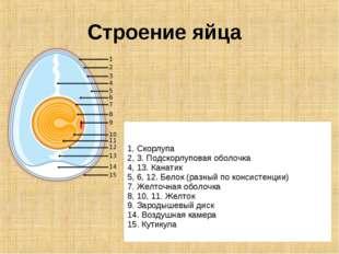 Строение яйца 1. Скорлупа 2, 3. Подскорлуповая оболочка 4, 13. Канатик 5, 6,