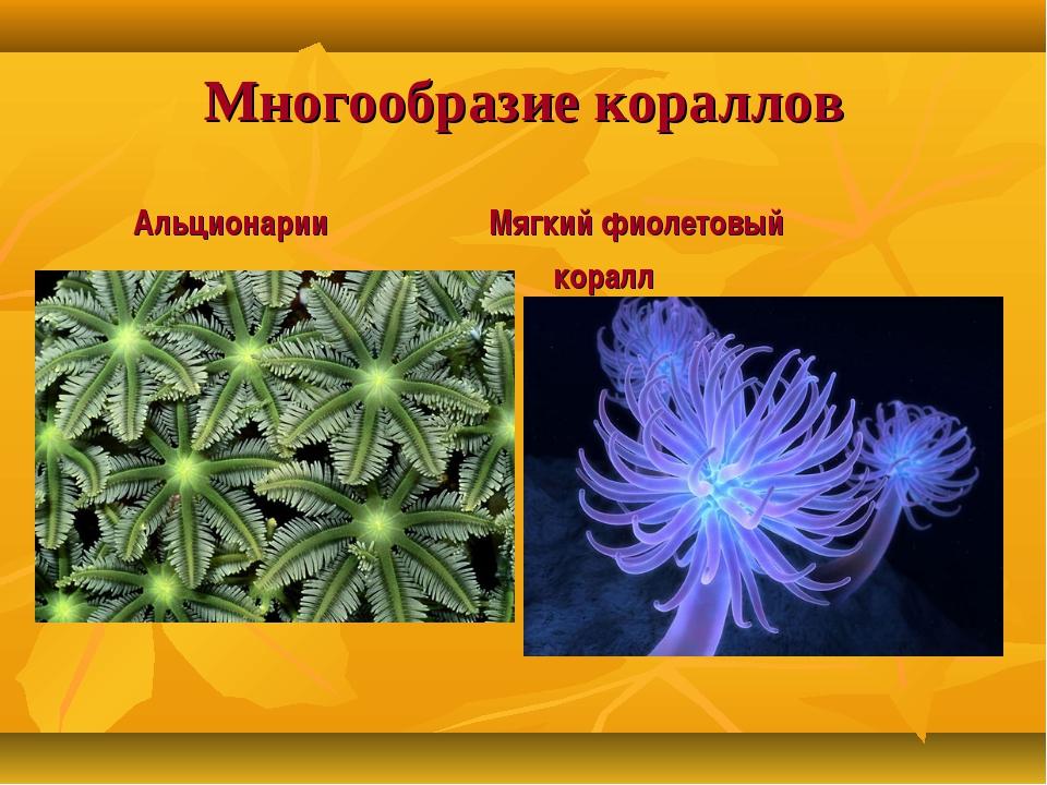 Многообразие кораллов Альционарии Мягкий фиолетовый коралл