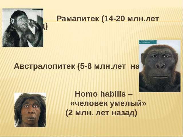Рамапитек (14-20 млн.лет назад) Австралопитек (5-8 млн.лет назад) Homo habil...