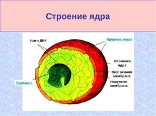 Строение ядра Нити ДНК Ядерные поры Ядрышко Оболочка ядра Внутренняя мембрана