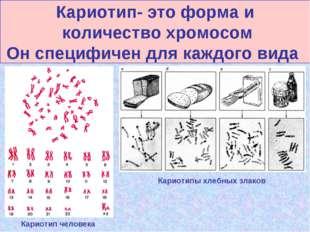 Кариотип- это форма и количество хромосом Он специфичен для каждого вида Кари