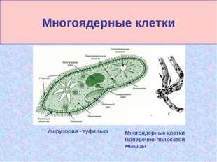 Многоядерные клетки