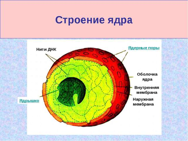 Строение ядра Нити ДНК Ядерные поры Ядрышко Оболочка ядра Внутренняя мембрана...