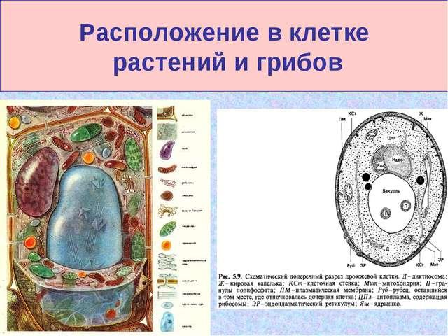 Расположение в клетке растений и грибов