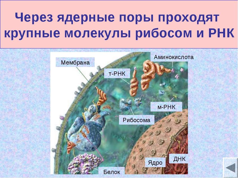 Через ядерные поры проходят крупные молекулы рибосом и РНК Мембрана т-РНК Риб...