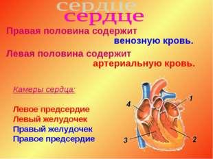 Правая половина содержит венозную кровь. Левая половина содержит артериальную