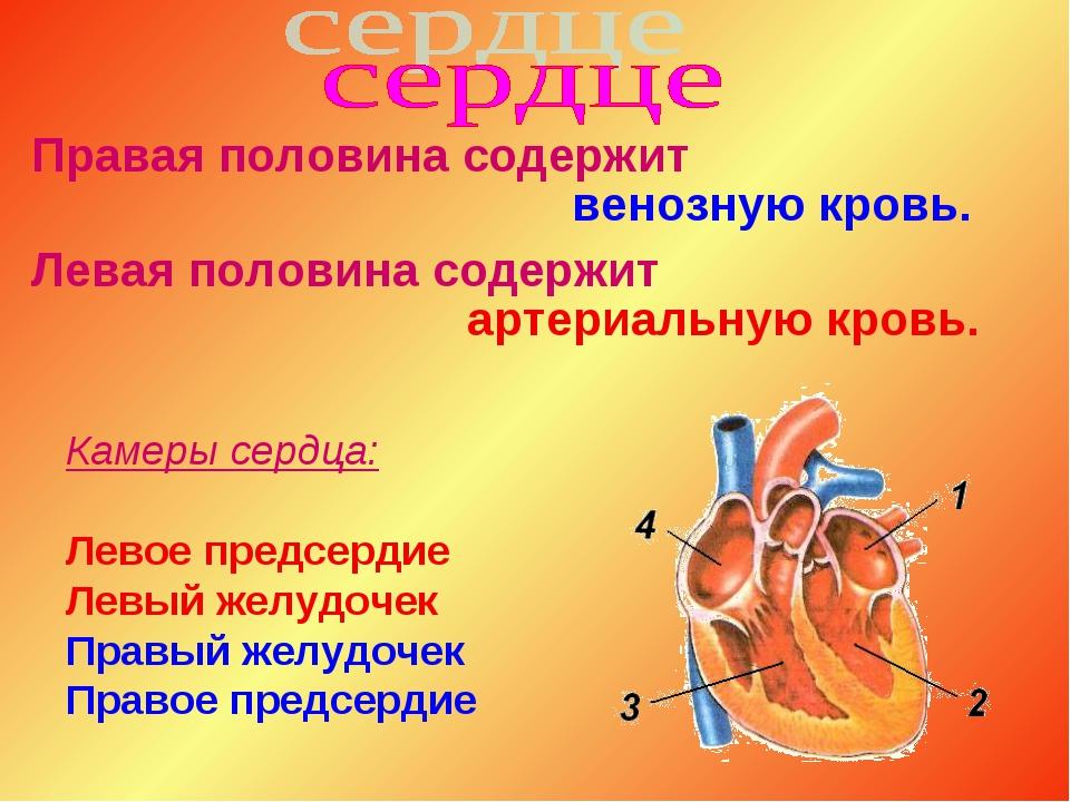 Правая половина содержит венозную кровь. Левая половина содержит артериальную...