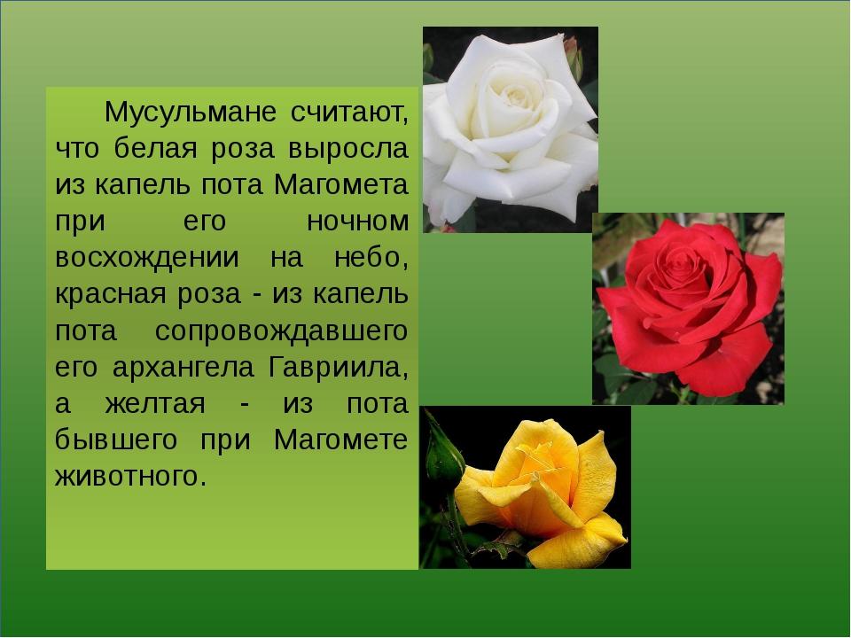 Мусульмане считают, что белая роза выросла из капель пота Магомета при его н...