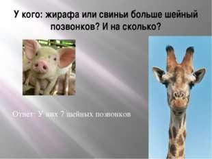У кого: жирафа или свиньи больше шейный позвонков? И на сколько? Ответ: У них