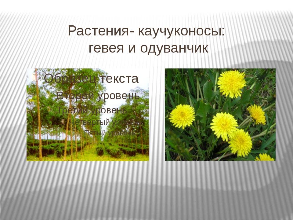 Растения- каучуконосы: гевея и одуванчик