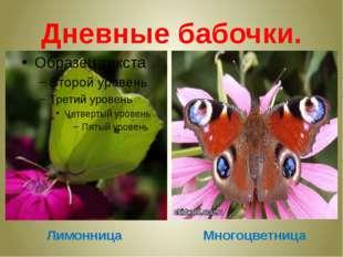 Дневные бабочки. Многоцветница Лимонница