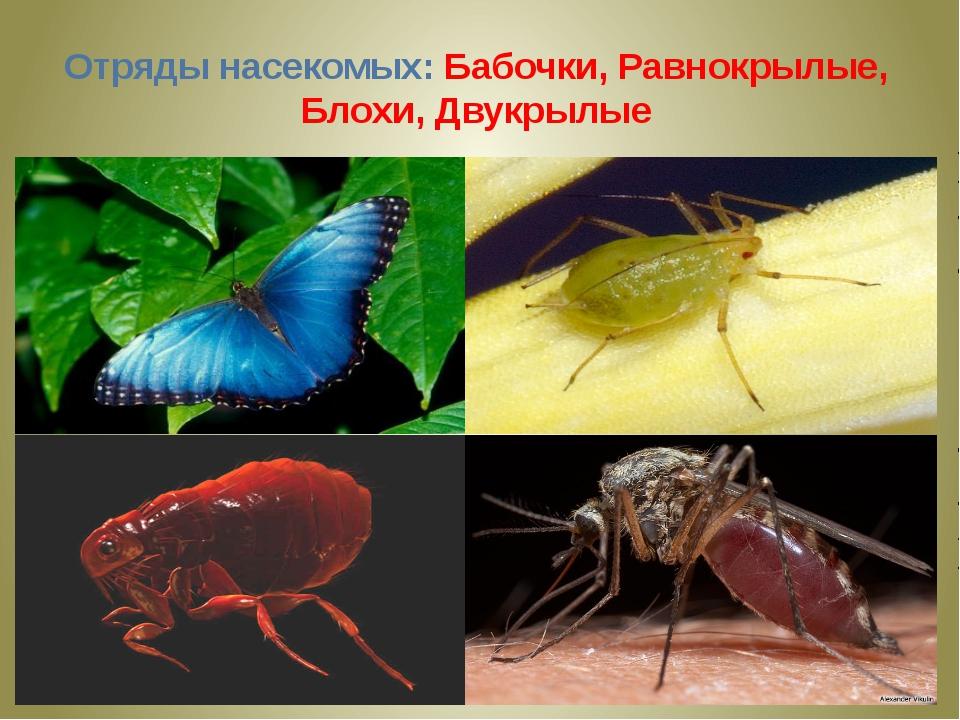 Отряды насекомых: Бабочки, Равнокрылые, Блохи, Двукрылые